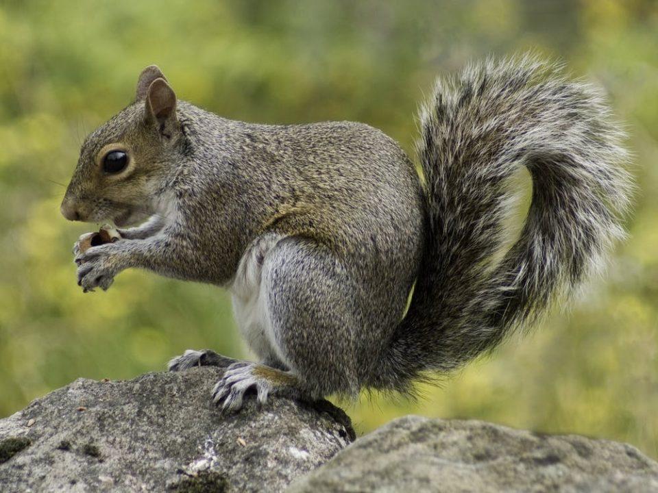 squirrel wildlife nature animal